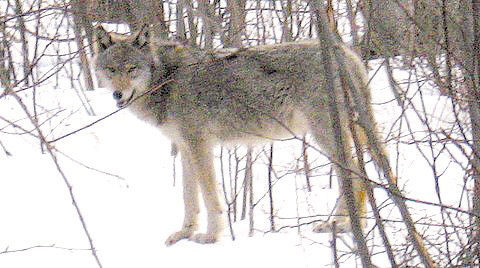 DNR assumes management of state's wolf population | Cook